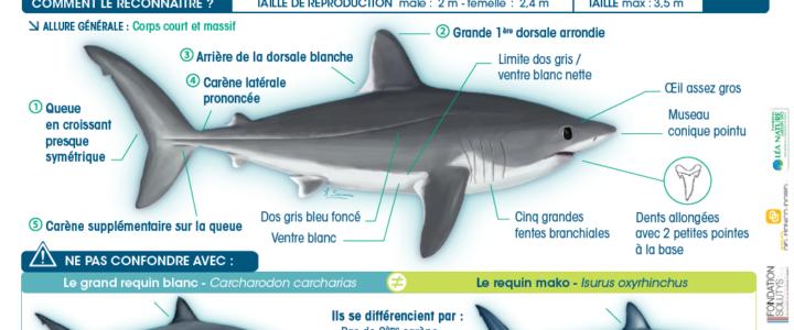 Programme Requins-Méditerranée ->Le requin taupe : une espèce très rare à protéger !