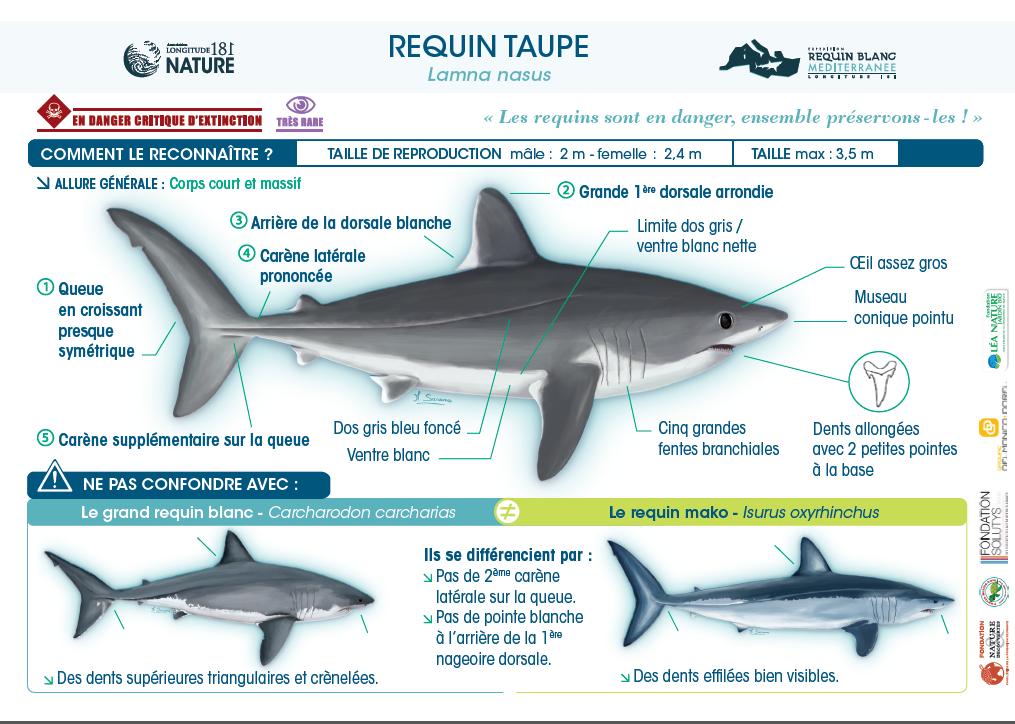 Le requin taupe et le grand requin blanc, même famille !