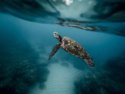 Il y a aussi des bonnes nouvelles ! Et ça se passe du côté des grandes tortues de mer.