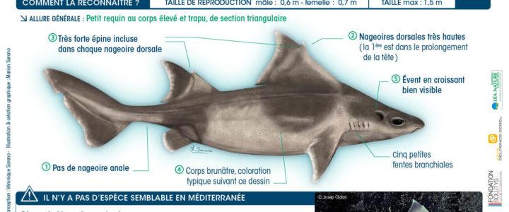Requins de Méditerranée : on a observé la centrine commune !