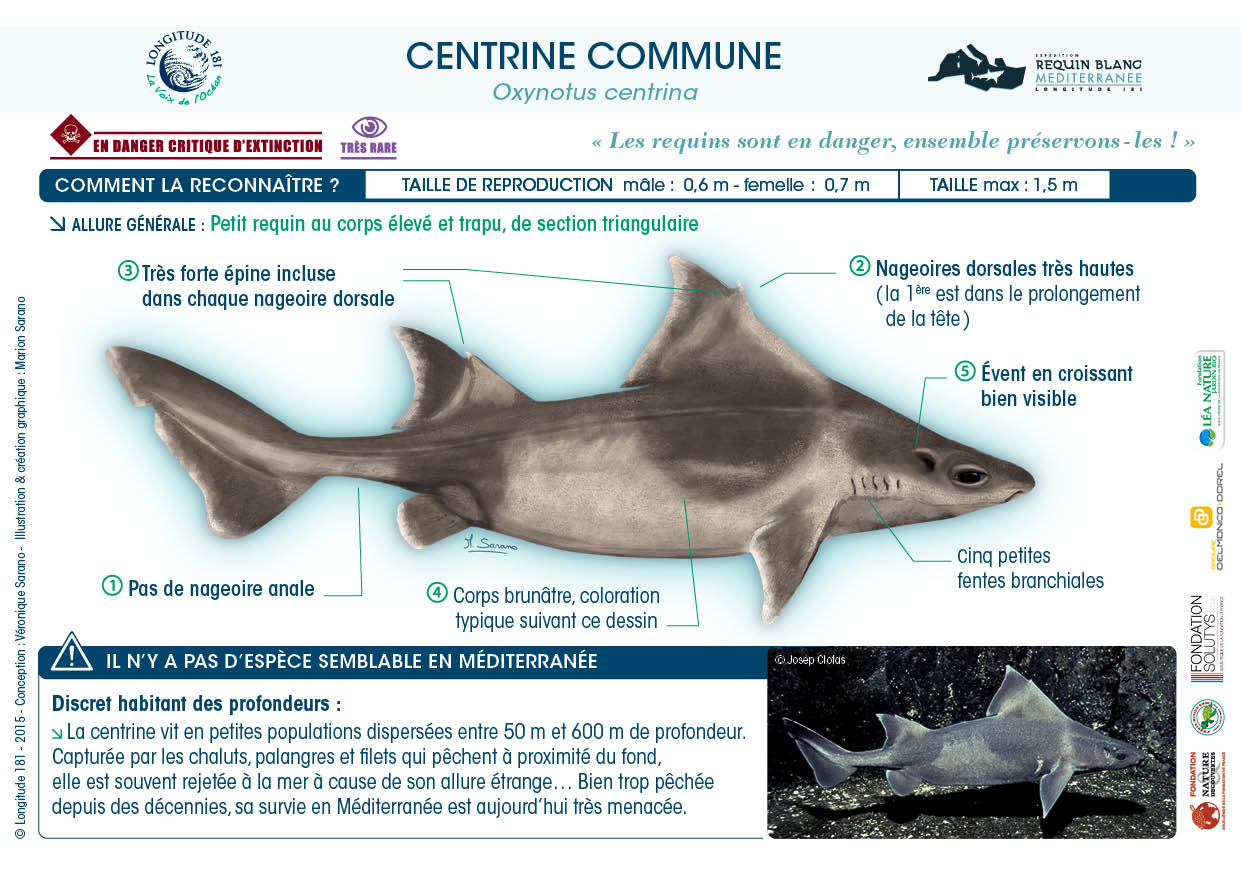 Discret requin des profondeurs