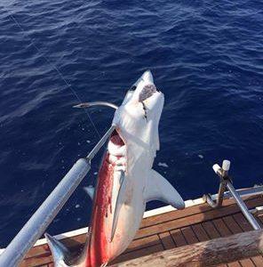 Requins de Méditerranée : le mako, un requin au bord de l'extinction