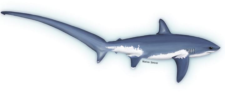 Longitude 181 réagit à propos du requin renard sur l'étal d'un poissonnier à Lyon