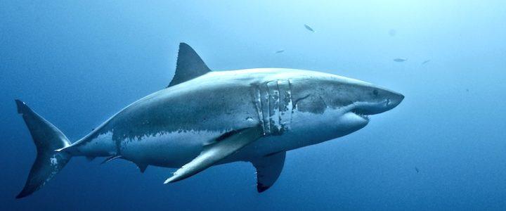 Que nous apprend le requin blanc ? Réponse de François SARANO !