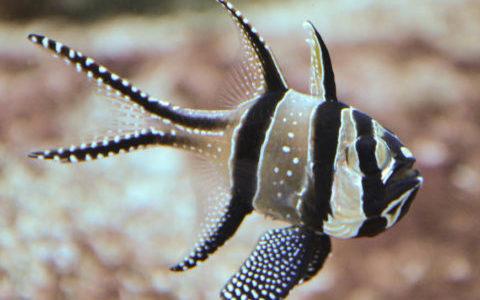 Le Business des espèces marines menacées, épisode 2 : Les Poissons cardinaux de Banggaï