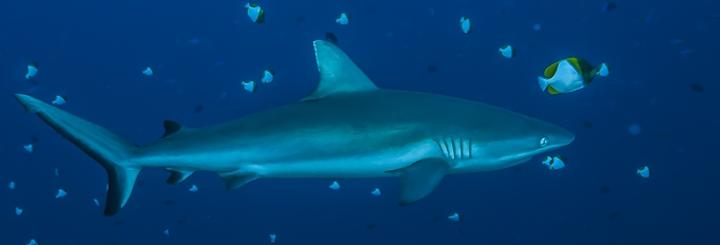 Shark feeding : Longitude 181 réaffirme son opposition  !
